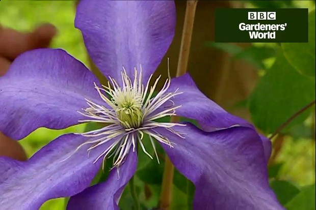 How to plant summer-flowering clematis