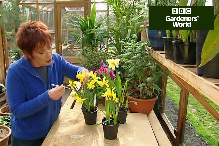 How to cross pollinate daffodils video