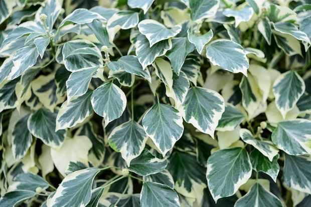 variegated-ivy-9
