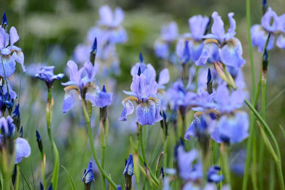 Siberian iris (Iris sibirica) 'Perry's Blue'