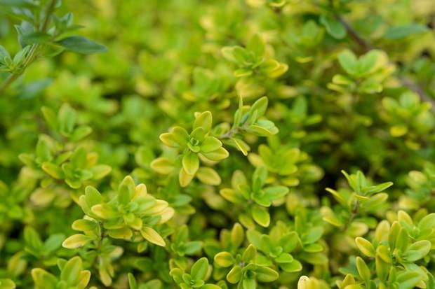 thymus-pulegioides-bertram-anderson-5