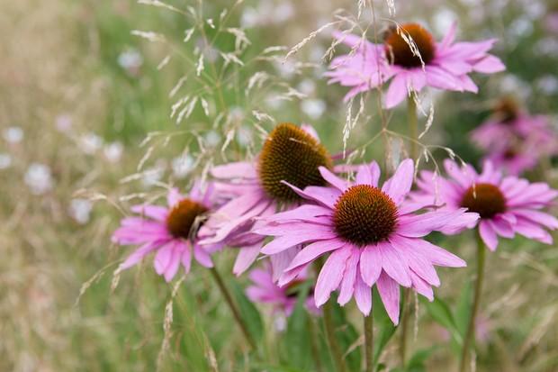 Pink echinacea 'Leuchtstern'