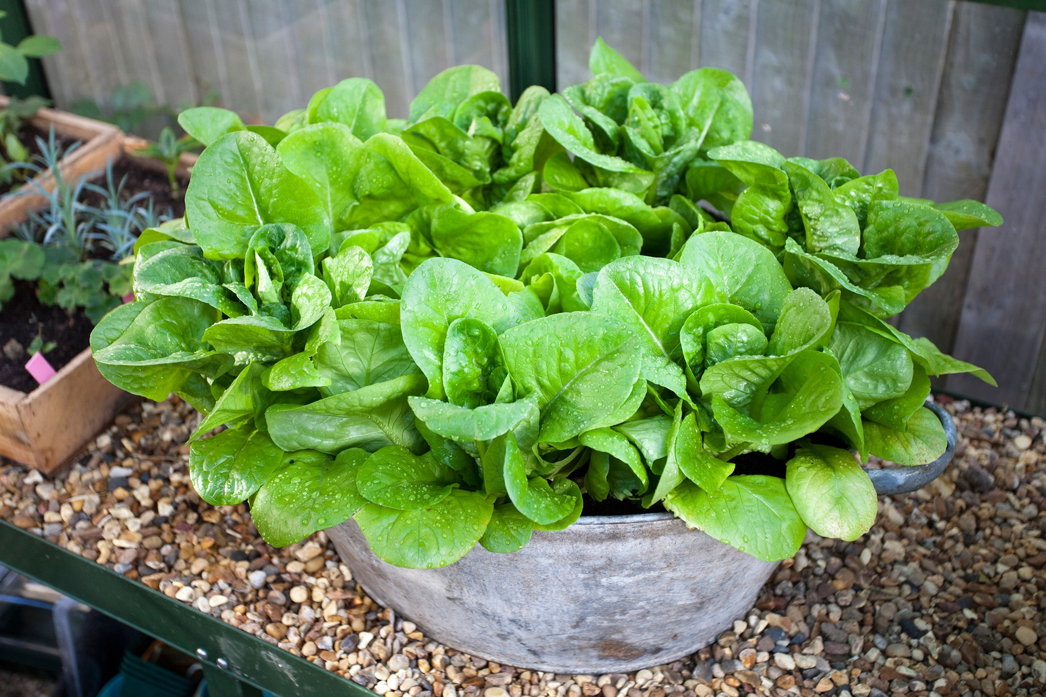 Winter gem lettuce in a container