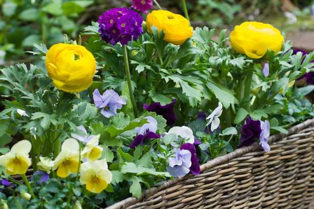 Primula and ranunculus window box