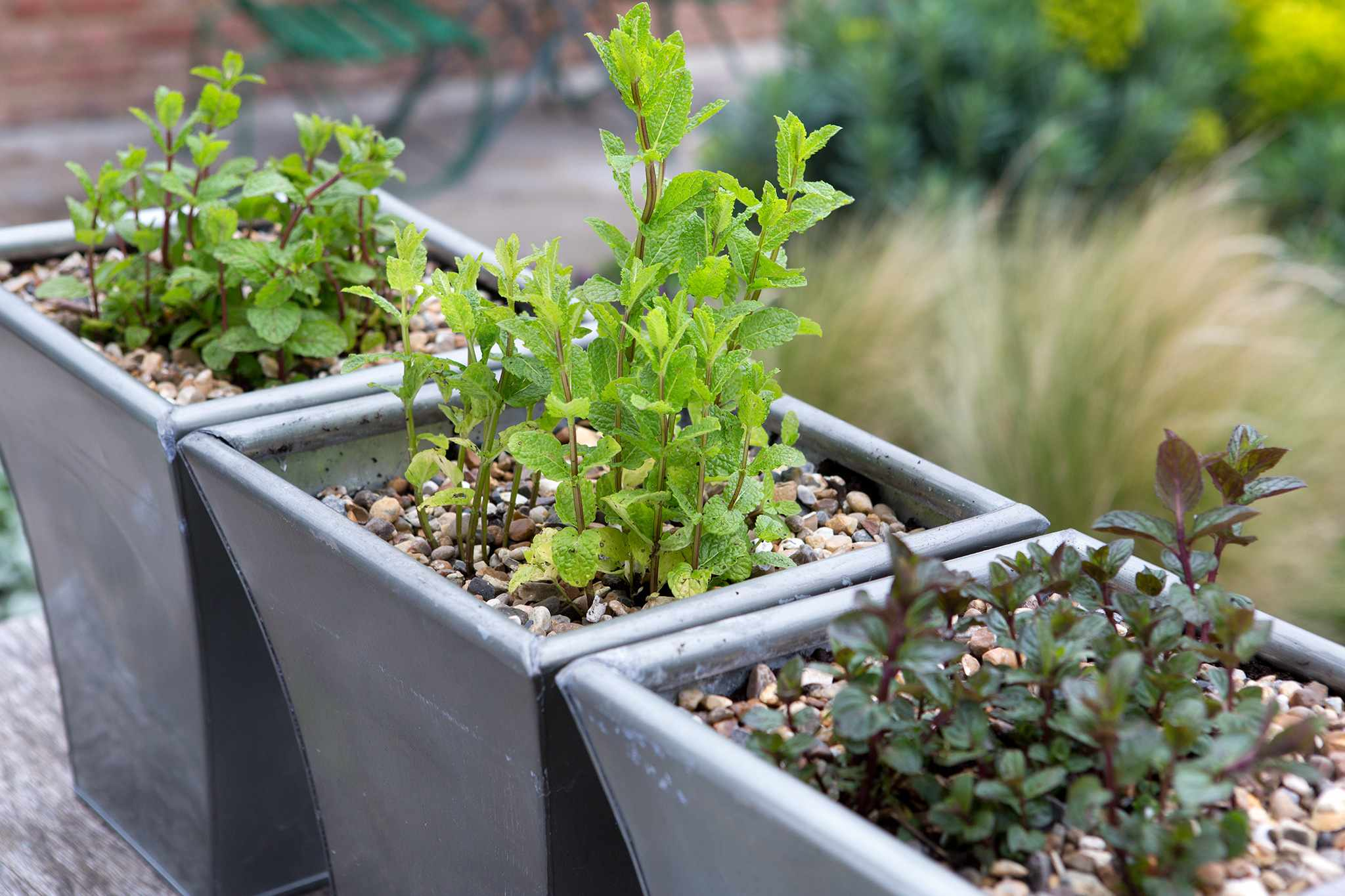 10 Varieties of Mint to Grow