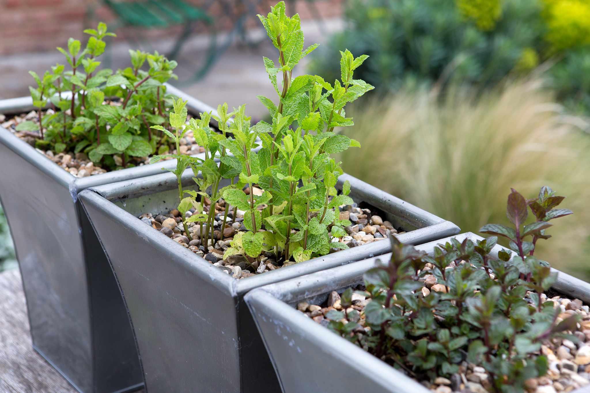 10 Varieties of Mint to Grow