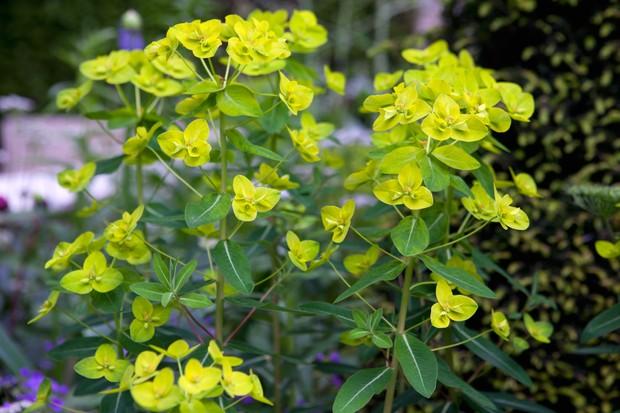 euphorbia-amygdaloides-var-robbiae-6