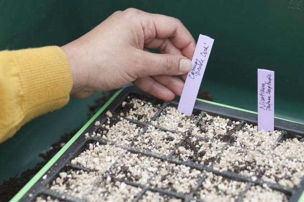 Labelling newly sown nicotiana seeds