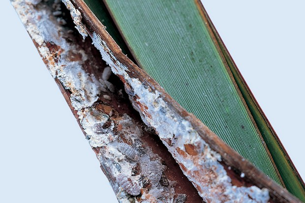 Phormium leaves with mealybugs and the white waxy deposit they produce