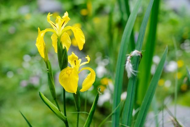iris-pseudacorus-3