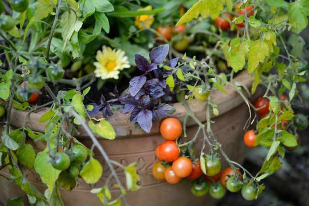 Tomato, basil and calendula pot
