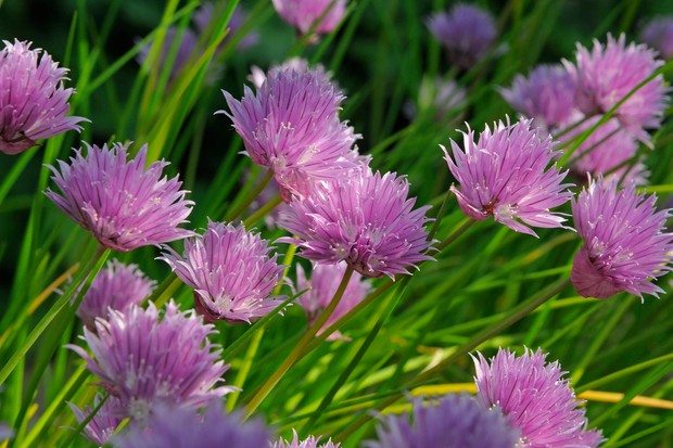 chives-foliage-and-flowers