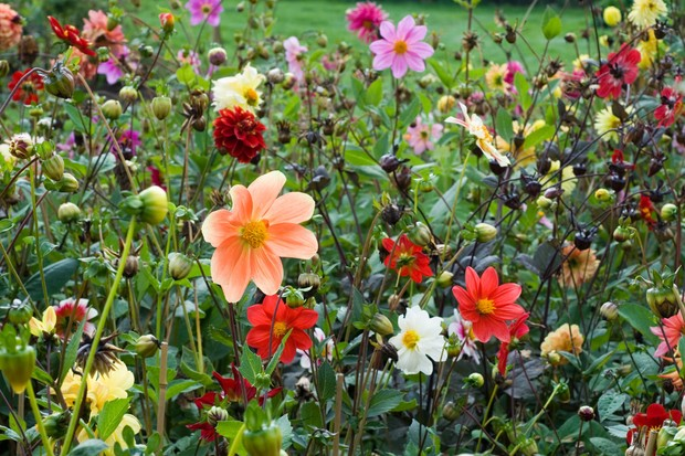 A variety of dahlias growing together