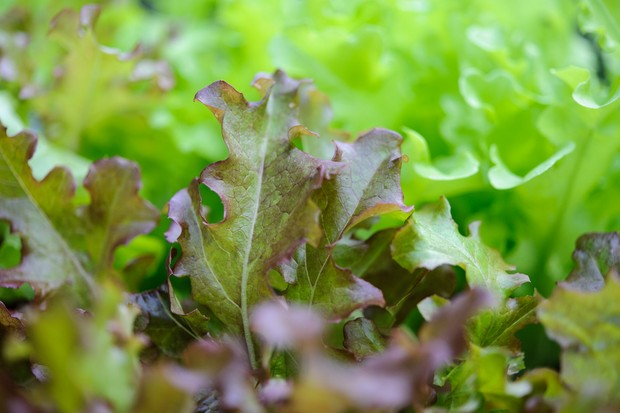 10 best vegetable crops for shade - salad leaves