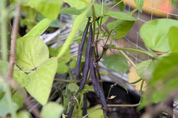 Dark purple beans of cultivar 'Purple Teepee'