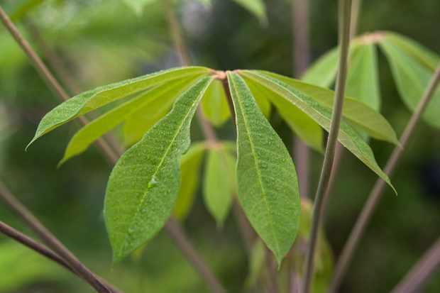 schefflera-rhododendronifolia-2