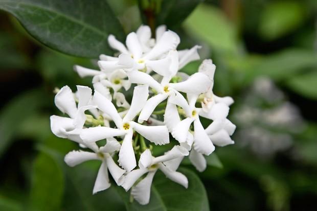 Fragrant star jasmine flowers