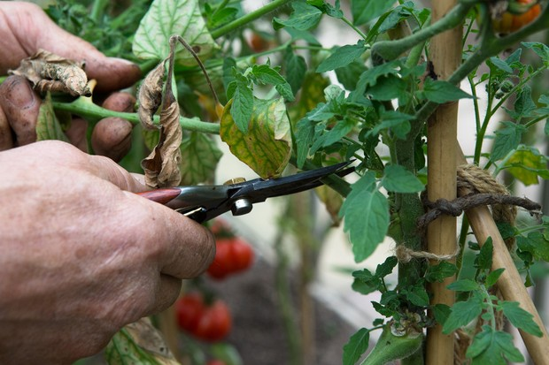 Thinning a branch out of a tomato plant