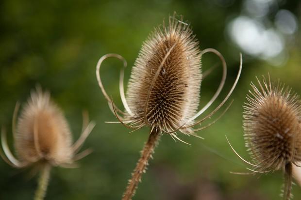 teasel-seedhead-3