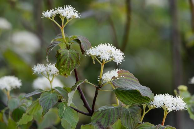 White flowers on bronzed dogwood foliage