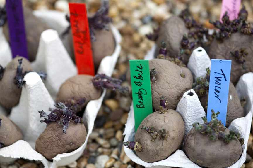 Should I rub shoots off chitting potatoes?