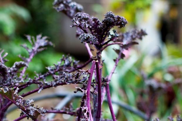 Damaged kale plant