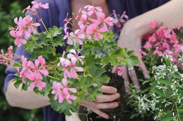 Planting the pelargonium