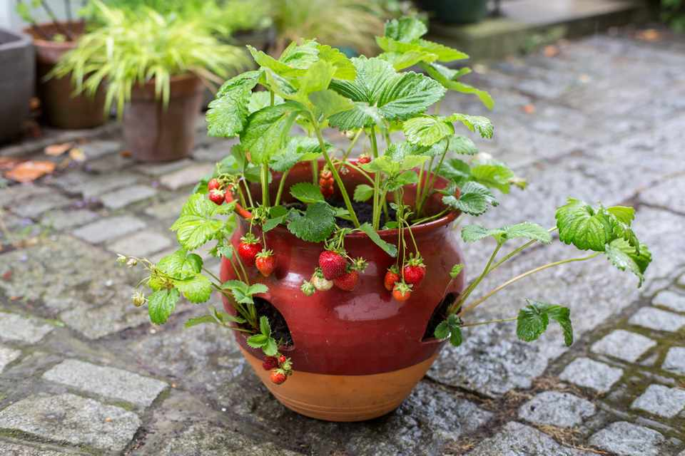 Strawberry container display
