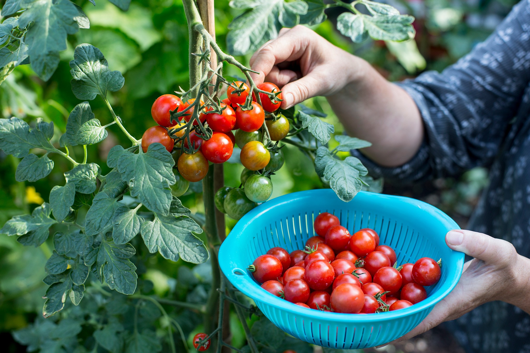 Crops to harvest in September - tomatoes