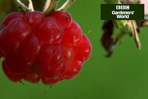How to prune and tie in summer raspberries video