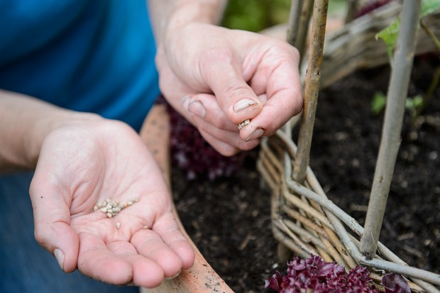 Sowing spinach seed in the gaps