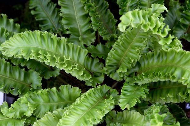 harts-tongue-fern-asplenium-scolopendrium-crispum-2