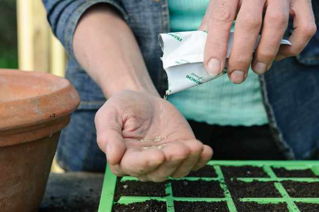 How to sow salad seeds in modules