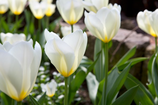 Yellow-centered, white flowers of tulip 'Purissima'