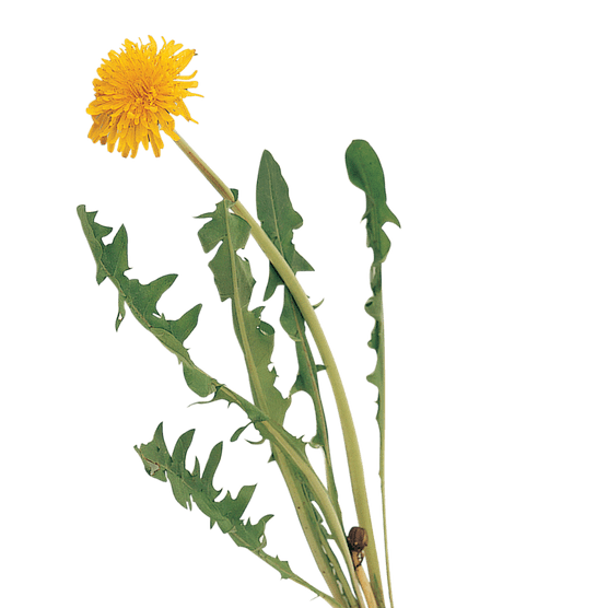 Dandelion leaves and flower