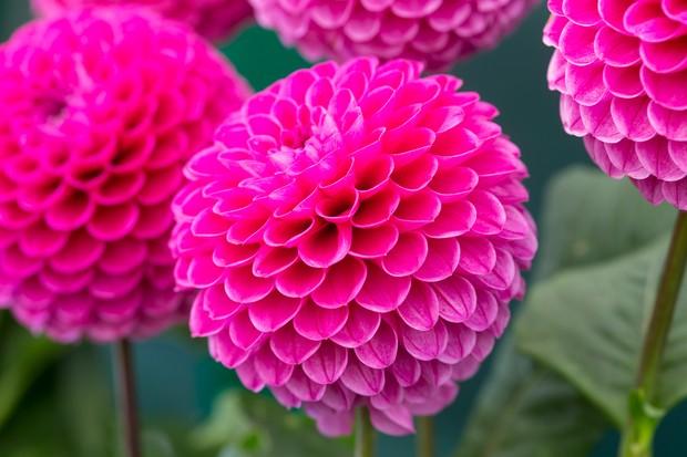 Large, spherical, pink blooms of the ball dahlia 'Jomanda'
