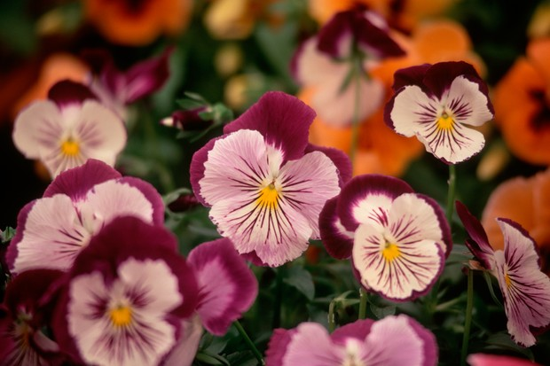 Cream and magenta flowers of pansy 'Cat's Whiskers'