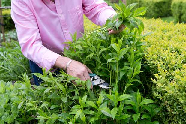 Doing the Chelsea chop on a phlox