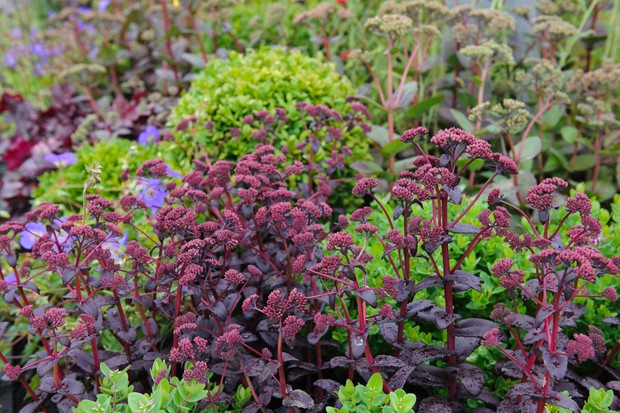 Purple sedum foliage contrasting against bright green