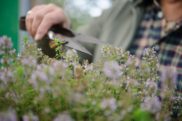 Trimming thyme