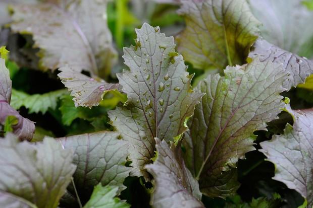 mizuna-leaves-4
