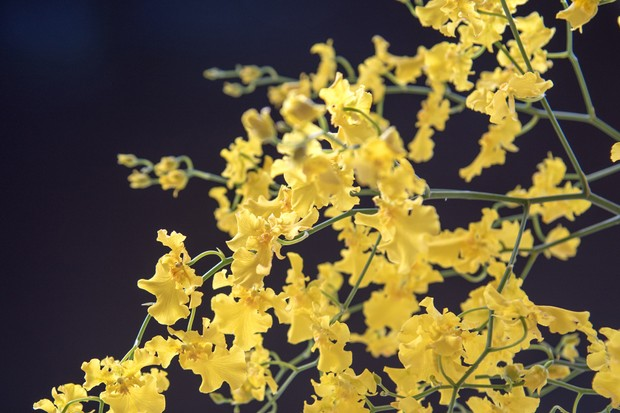 oncidium-orchid-credit-getty-images-4