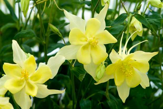 Starry, lemon flowers of Aquilegia 'Texas Yellow'