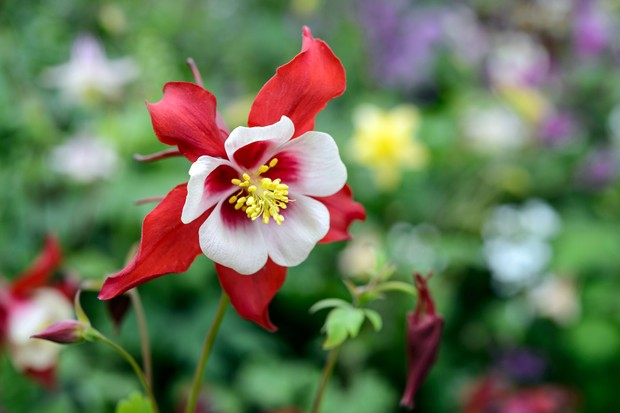 Red and white aquilegia