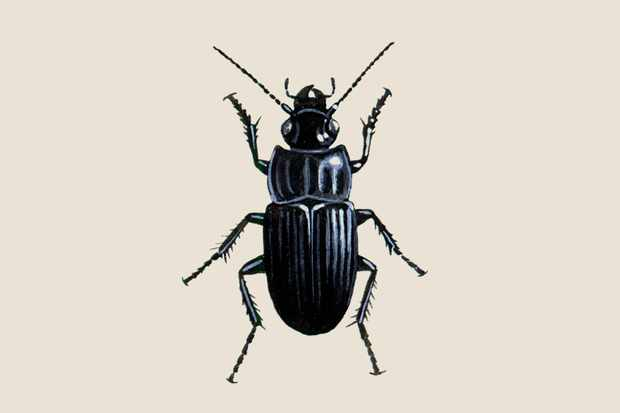 broad-ground-beetle-2