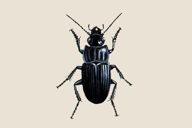 Broad ground beetle (Abax parallelepipedus) illustration