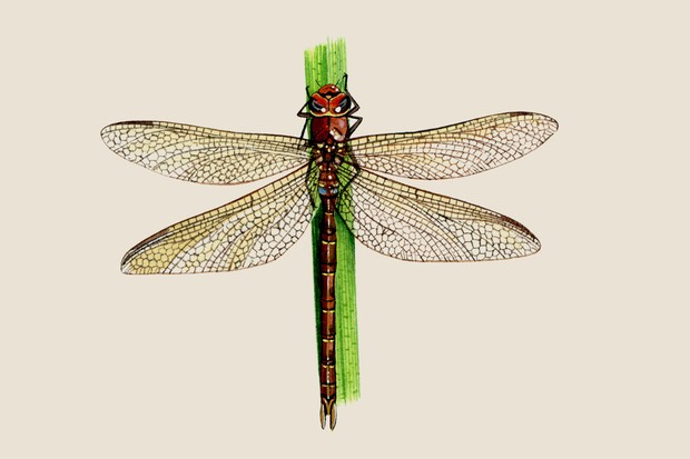 An illustration of a brown hawker