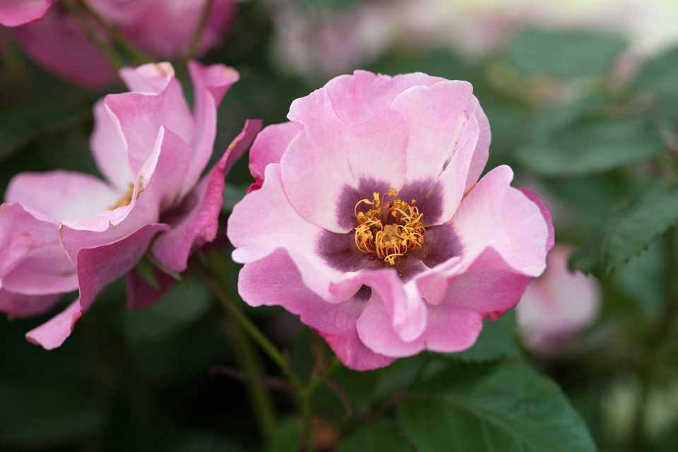 Purple-centred pink rose blooms