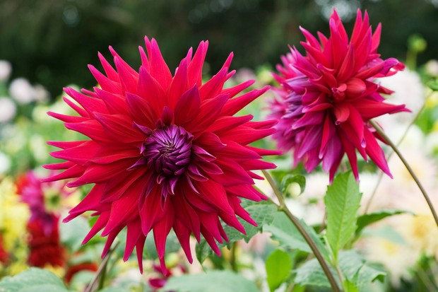 flowers-to-pick-in-august-dahlia-rev-p-holian-2