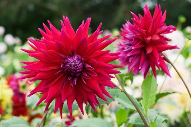 Crimson blooms of Dahlia 'Rev P Holian'